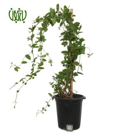 گیاه یاس امین الدوله  پیچ امین الدوله (ياس امين الدوله)-Honeysuckle Honeysuckle plant 1 450x450