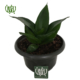 سانسوریا  خاک برگ لیکا-lekka Sansevieria trifasciata hahnii green plant 2 80x80