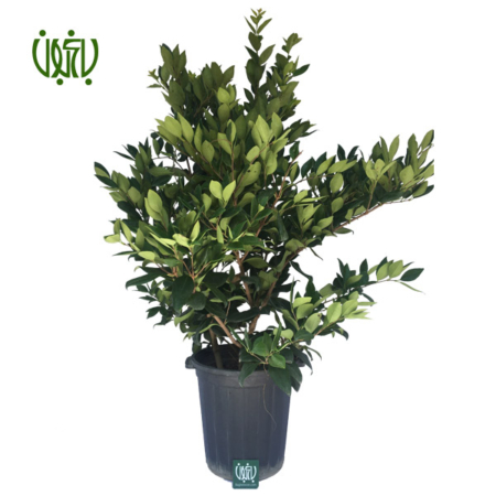 برگ بو  برگ بو -Sweet bay Sweet bay plant 1 450x450