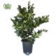 برگ بو  افرا-Japanese maple Sweet bay plant 1 80x80