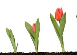 گیاهان_غده_ای  بام سبز چیست 17 02 16 Tulips Flower Bulbs 260x185 گل و گیاه خانگی گل و گیاه خانگی 17 02 16 Tulips Flower Bulbs 260x185