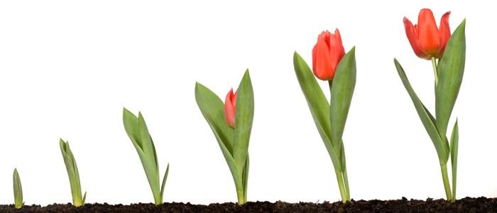 گیاهان_غده_ای  گیاهان غده ای مناسب برای نگهداری در اتاق 17 02 16 Tulips Flower Bulbs  وبلاگ 17 02 16 Tulips Flower Bulbs