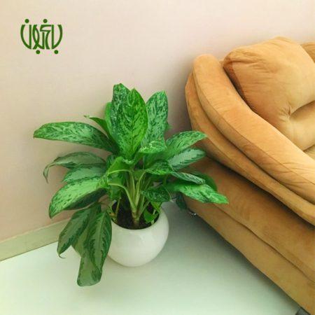 آگلونما فرانسوی  گلدان هدیه آگلونما فرانسوی طرح1 Aglaonema french plant gift 1 00 450x450