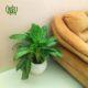 آگلونما فرانسوی  گلدان هدیه سانسوریا مدل گل طرح1 Aglaonema french plant gift 1 00 80x80
