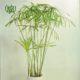 نخل مرداب نخل مرداب نخل مرداب-Cyperus alternifolius Cyperus alternifolius plant 02 80x80