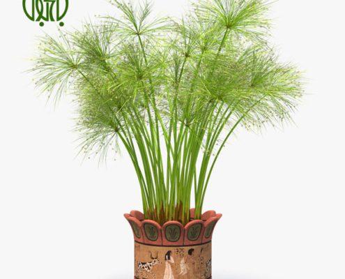 نخل مرداب گیاهان آپارتمانی گیاهان آپارتمانی Cyperus alternifolius plant 03 495x400 گیاهان آپارتمانی گیاهان آپارتمانی Cyperus alternifolius plant 03 495x400