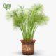 نخل مرداب نخل مرداب نخل مرداب-Cyperus alternifolius Cyperus alternifolius plant 03 80x80