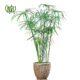 نخل مرداب نخل مرداب نخل مرداب-Cyperus alternifolius Cyperus alternifolius plant 04 80x80