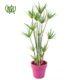 نخل مرداب نخل مرداب نخل مرداب-Cyperus alternifolius Cyperus alternifolius plant 05 80x80