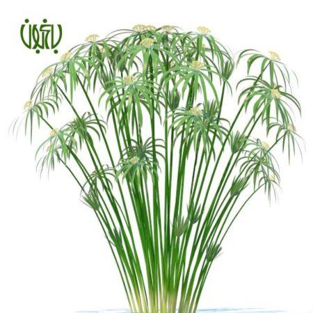 نخل مرداب نخل مرداب نخل مرداب-Cyperus alternifolius Cyperus alternifolius plant 06 450x450