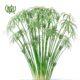 نخل مرداب نخل مرداب نخل مرداب-Cyperus alternifolius Cyperus alternifolius plant 06 80x80