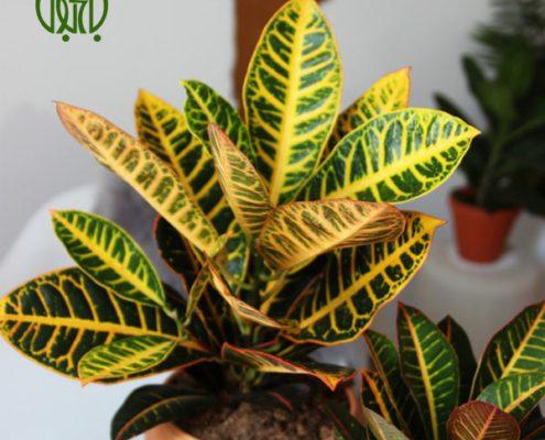 کروتون کروتون کروتون رنگین (کروتون پرتقالی) – Garden Croton Garden croton plant 02 495x400