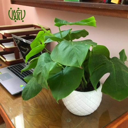 برگ انجیری  گلدان هدیه برگ انجیری طرح1 Monstera deliciosa plant gift 50 17 03 450x450