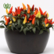 فلفل زینتی نخل مرداب نخل مرداب-Cyperus alternifolius Ornamental chilli pepper plant 04 80x80