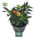 فلفل زینتی  نخل مرداب-cyperus alternifolius Ornamental chilli pepper plant 3 80x80