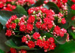 ۷ نکته مهم در آبیاری گیاهان آپارتمانی Red Kalanchoe Image1 260x185 گل و گیاه خانگی گل و گیاه خانگی Red Kalanchoe Image1 260x185