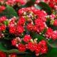 ۷ نکته مهم در آبیاری گیاهان آپارتمانی Red Kalanchoe Image1 80x80