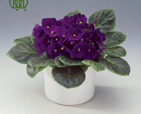 بنفشه آفریقایی کروتون کروتون رنگین (کروتون پرتقالی) – Garden Croton Saintpaulia plant 02 495x400
