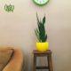 سانسوریا گل  گلدان هدیه آگلونما فرانسوی طرح1 Sansevieria gol plant gift 50 20 07 80x80