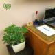 شفلرا با گلدان  گلدان هدیه پوتوس سفید طرح1 Schefflera plant gift 50 10 00 80x80