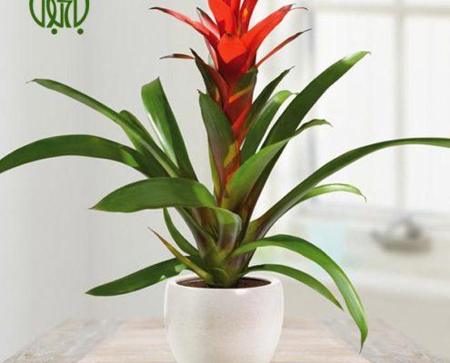 گازمانیا کروتون کروتون رنگین (کروتون پرتقالی) – Garden Croton guzmania plant 03 495x400