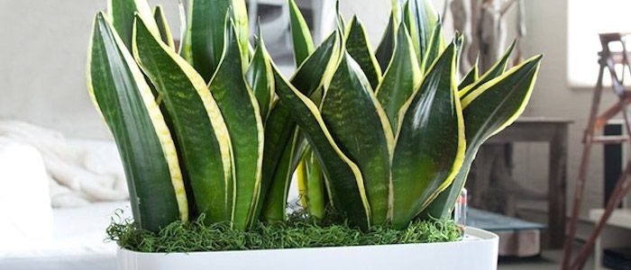 ۷ نکته مهم در آبیاری گیاهان آپارتمانی motherinlawtongue
