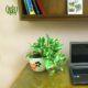 پوتوس سفید  گلدان هدیه شفلرا طرح1 saureus marble queen 12 50 08 80x80