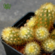 آکارگاما رُزانا  آکارگاما رُزانا-Acharagma roseana Acharagma roseana plant 02 80x80