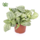 فیتونیا  آنتوریوم-Anthurium andraeanum Fittonia verschaffeltii plant 2 80x80