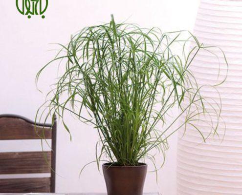 نخل مرداب فلفل زینتی فلفل زینتی (فلفل آنوم) – Ornamental Pepper Cyperus alternifolius plant 03 495x400