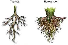 معرفی سیستم های ریشه ای گیاهان images