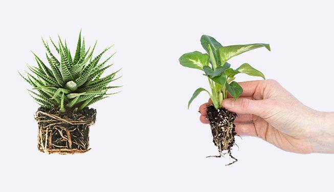 معرفی سیستم های ریشه ای گیاهان kokedama moss balls plant roots  وبلاگ kokedama moss balls plant roots