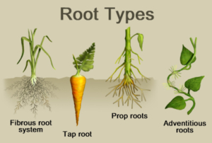 معرفی سیستم های ریشه ای گیاهان roots types 300x202