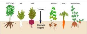 معرفی سیستم های ریشه ای گیاهان storage crops 300x118