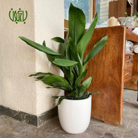 گلدان هدیه  گلدان هدیه برگ عبایی طرح1 aspidistra elatior plant gift 1 0 450x450