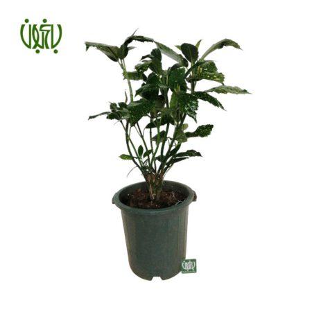گیاه آکوبا