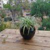 گیاه گندمی