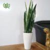 گلدان هدیه سانسوریا سبز