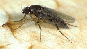 حشرات دوبال قارچ خوار