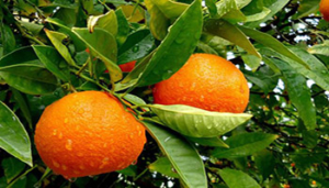 درختچه نارنج