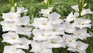 گلایول سفید