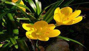 گل استرنبرجیا