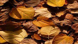 زرد شدن و ریختن برگ