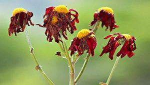 پژمرده شدن گل ها