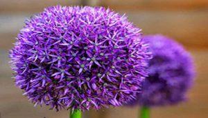 سیر گل آبی